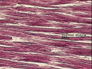 skeletal_muscle (www.uis.edu)